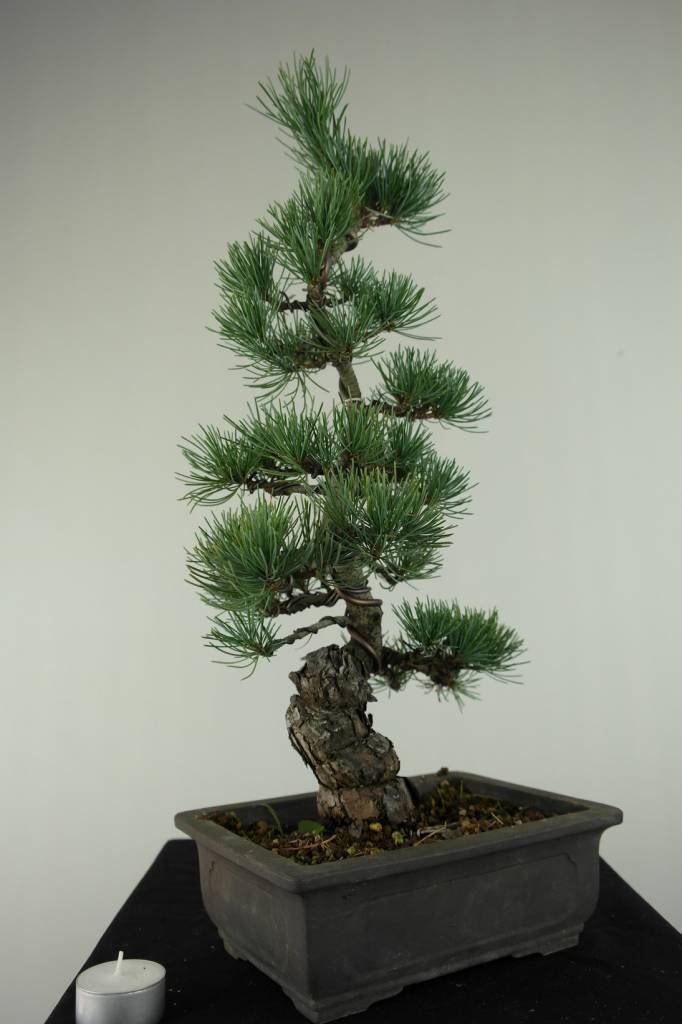 Bonsai Japanese White Pine, Pinus pentaphylla, no. 7154