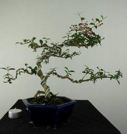 Bonsai Malpighia glabra, no. 7166