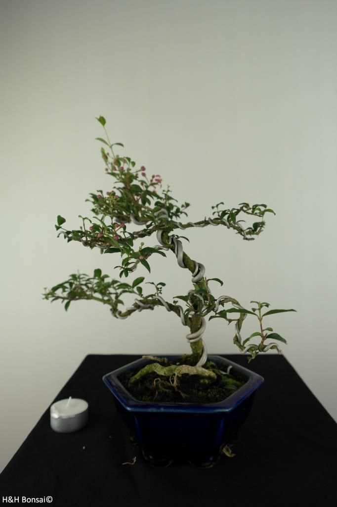 Bonsai Barbados Cherry, Malpighia glabra, no. 7166