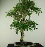 Bonsai Snow Rose, Serissa foetida, no. 7168