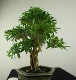 Bonsai Neige de juin, Serissa foetida, no. 7169