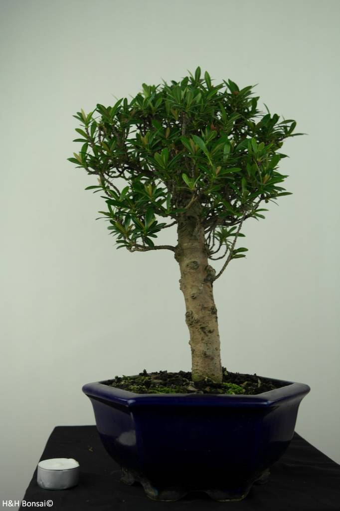 Bonsai Ixora, no. 7179