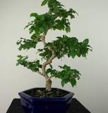 Bonsai Troène, Ligustrum sinense, no. 7183