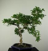 Bonsai Troène, Ligustrum sinense, no. 7184