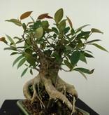 Bonsai Figuier tropical, Ficus sp., no. 7186