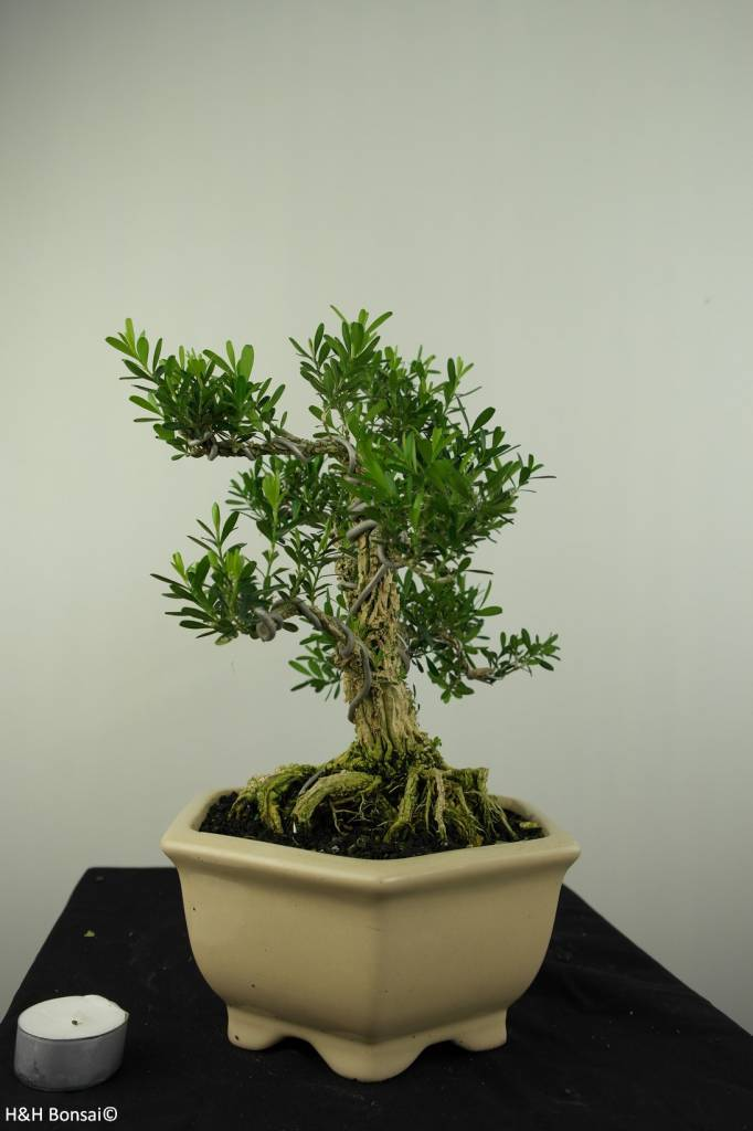 Bonsai Buis,Buxus harlandii, no. 7191