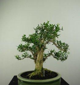 Bonsai Buis,Buxus harlandii, no. 7192