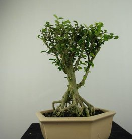 Bonsai Malpighia coccigera, no. 7193