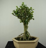Bonsai Barbados Cherry, Malpighia coccigera, no. 7193