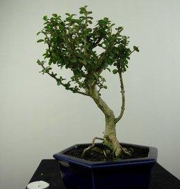 Bonsai Malpighia coccigera, no. 7194