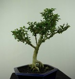 Bonsai Barbados Cherry, Malpighia coccigera, no. 7194
