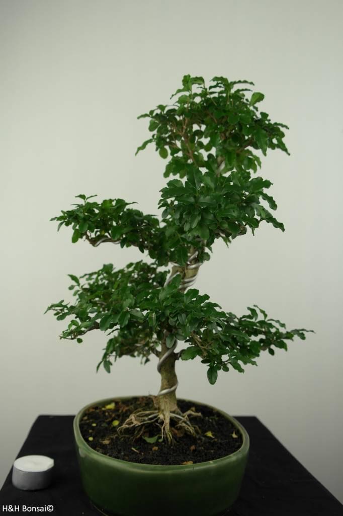 Bonsai Ligustrumsinense, no. 7203A