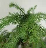 Bonsai Araucaria, no. 7232