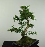 Bonsai Fukien Tea,Carmona macrophylla, no. 7239