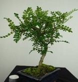 Bonsai Japanese Pepper,Zanthoxylum piperitum, no. 7270