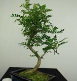 Bonsai Japanese Pepper,Zanthoxylum piperitum, no. 7273