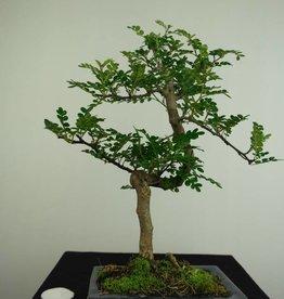 Bonsai Faux poivrier,Zanthoxylum piperitum, no. 7274
