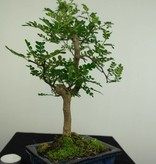 Bonsai Japanese Pepper, Zanthoxylum piperitum, no. 7274