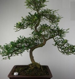Bonsai Faux poivrier, Zanthoxylum piperitum, no. 7292