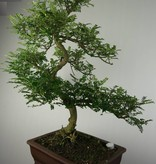 Bonsai Japanese Pepper,Zanthoxylum piperitum, no. 7292