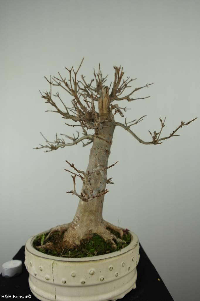 Bonsai Trident maple, Acer buergerianum, no. 7298