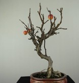 Bonsai le Pommier, Malus halliana, no. 6612