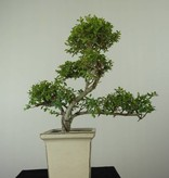 Bonsai Japanese Holly, Ilex crenata, no. 6718