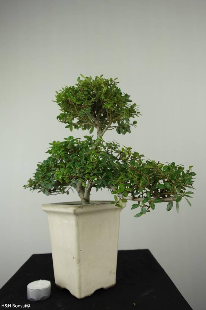 Bonsai Japanese Holly, Ilexcrenata, no. 6721