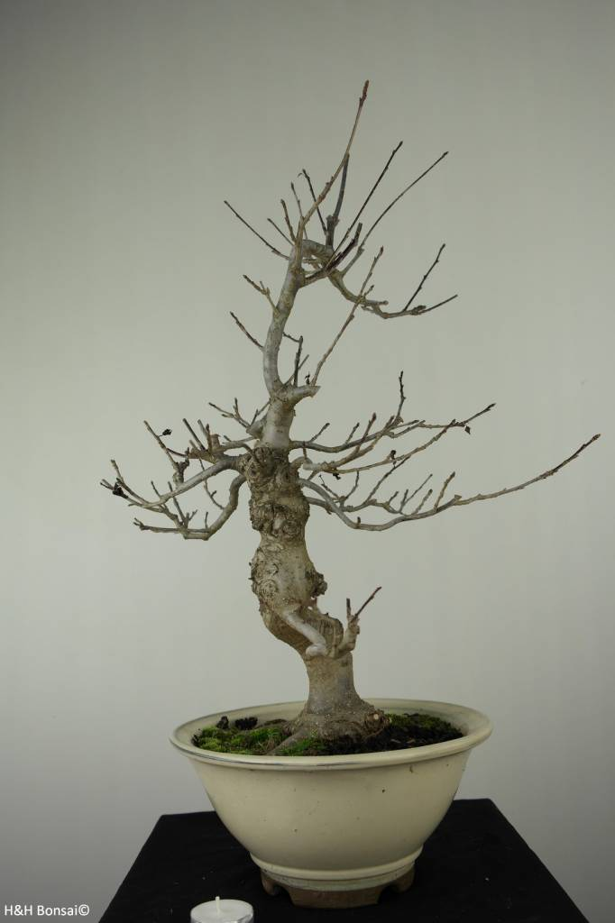 Bonsai Japanese Winterberry, Ilex serrata, no. 6780