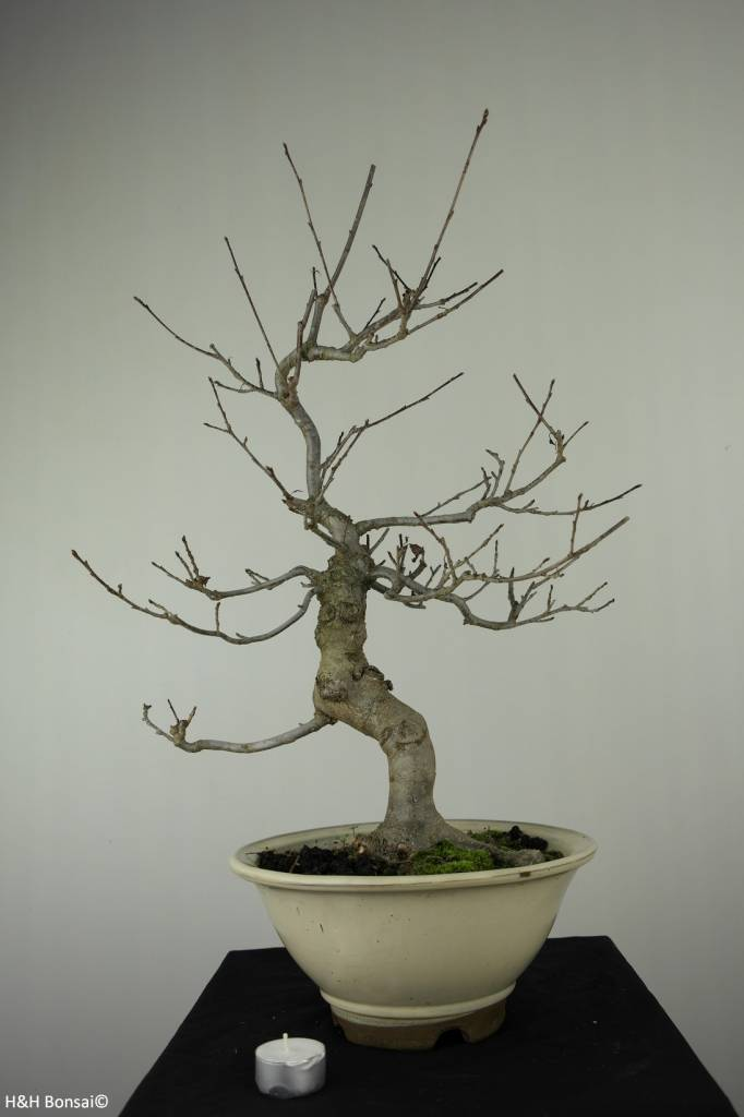 Bonsai Ilex serrata, no. 6780