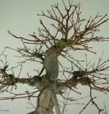 Bonsai L'Erable du Japon, Acer palmatum, no. 6784