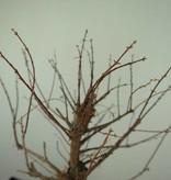 Bonsai Dawn Redwood, Metasequoia, no. 6856