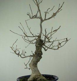 Bonsai Japanese Winterberry, Ilex serrata, no. 6955