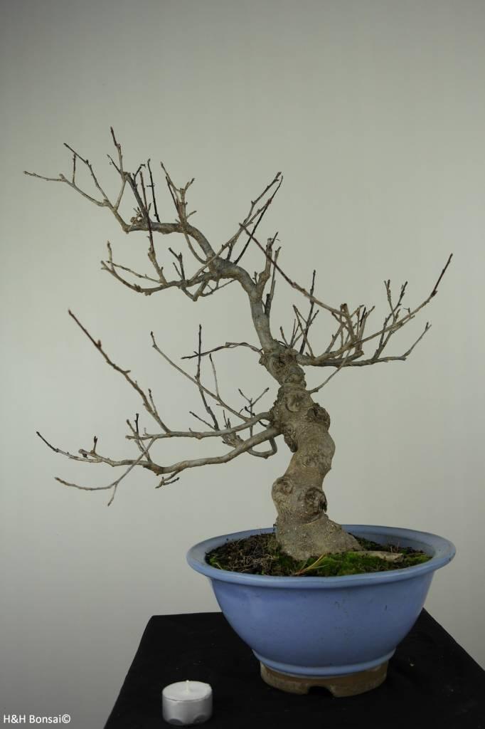 Bonsai Japanese Winterberry, Ilex serrata, no. 6956