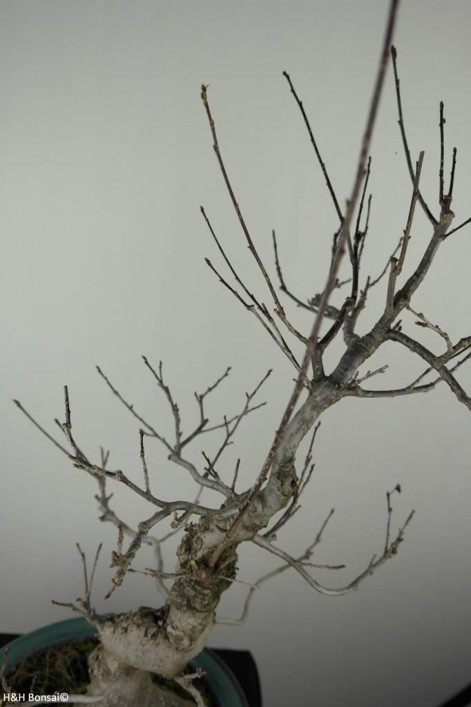 Bonsai Japanese Winterberry, Ilex serrata, no. 7048
