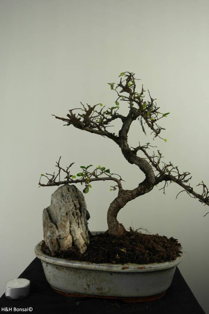 Bonsai Chinese Elm with rock, Ulmus, no. 7307