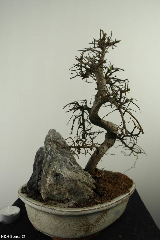 Bonsai Chinese Elm with rock, Ulmus, no. 7310