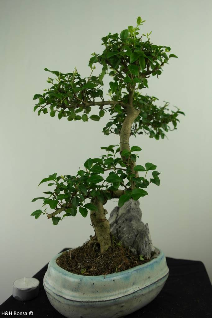 Bonsai Privet,Ligustrum nitida, no. 7312
