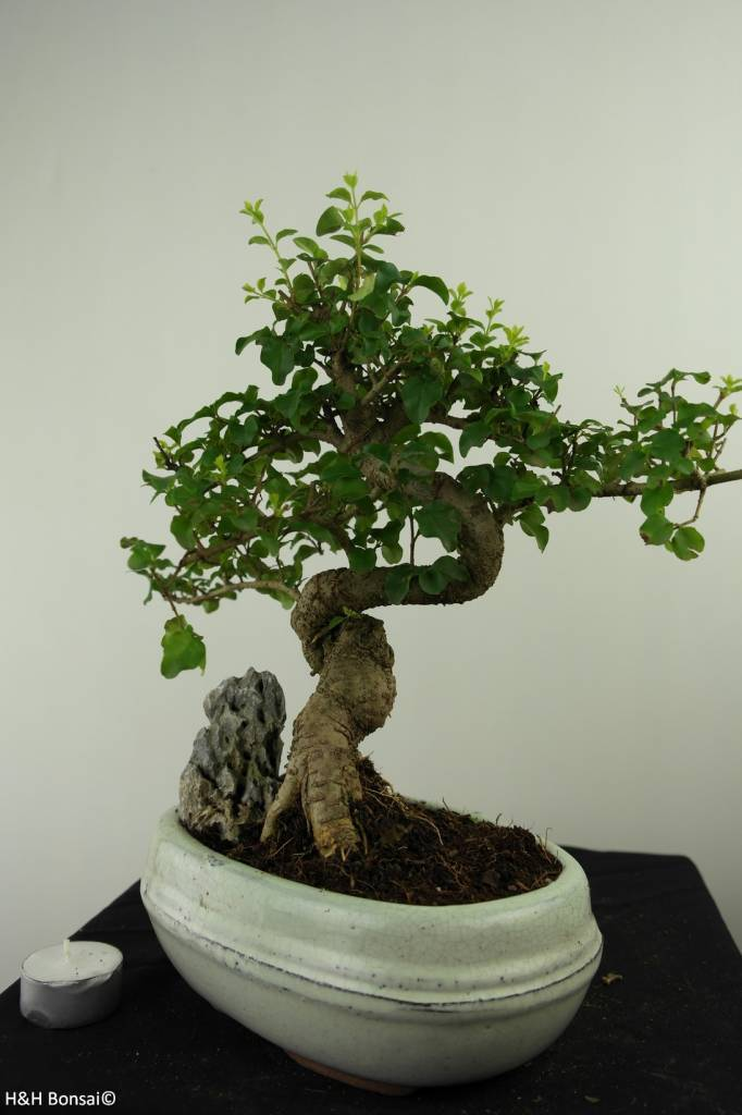 Bonsai Privet, Ligustrum nitida, no. 7316