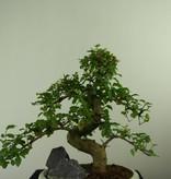 Bonsai Privet,Ligustrum nitida, no. 7318
