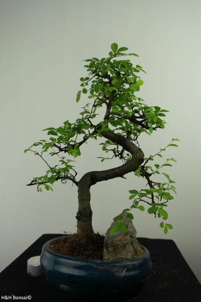 Bonsai Chinese Elm with rock, Ulmus, no. 7326