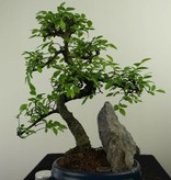 Bonsai Chinese Elm with rock, Ulmus, no. 7329
