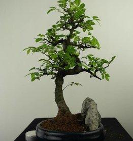 Bonsai Orme de Chine avec roche, Ulmus, no. 7332