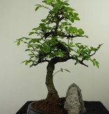 Bonsai Chinese Elm with rock, Ulmus, no. 7332