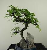 Bonsai Chinese Elm with rock, Ulmus, no. 7333