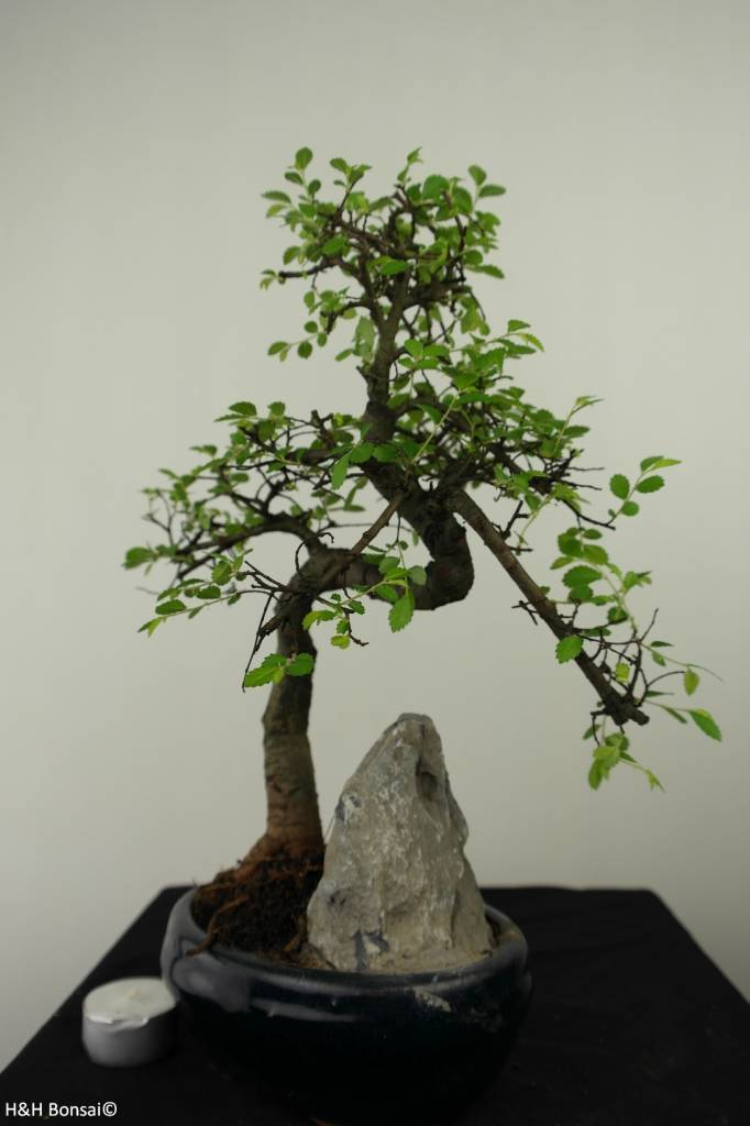 Bonsai Chinese Elm with rock, Ulmus, no. 7334