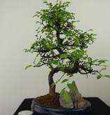 Bonsai Chinese Elm with rock, Ulmus, no. 7335