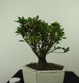 Bonsai Azalea Rhododendron indicum, no. 7342