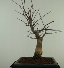 Bonsai Japanese Red Maple, Acer palmatum deshojo, no. 7372