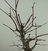 Bonsai L'Erable du Japon deshojo, Acer palmatum deshojo, no. 7372